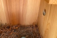 BlueBird-Eggs-April-2020-Courtesy-Scott-Family