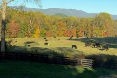 Fall-2019-Cows-Courtesy-Dottie-McFalls