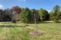 Ginkgo-Tree-Installation-November-2019